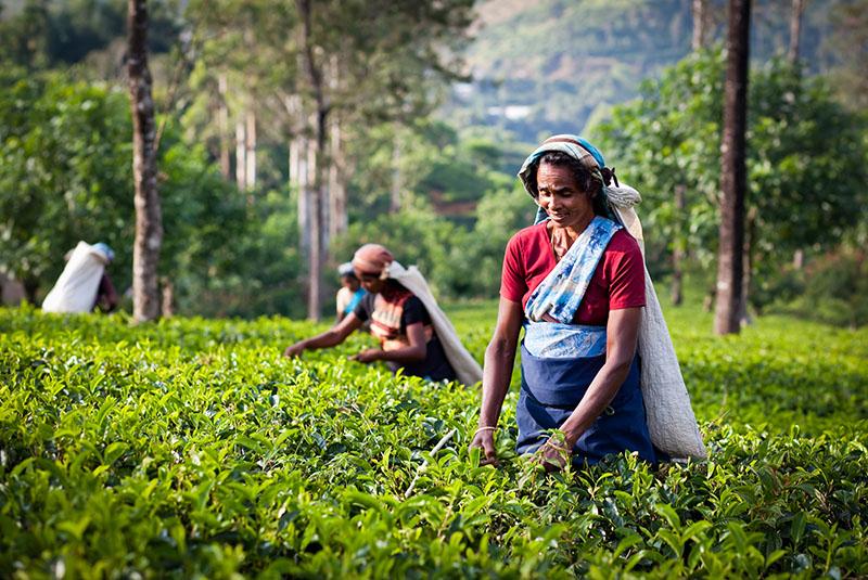 Sri Lankan women picking crops